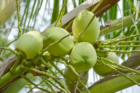 coconut tree in garden , Cocos nucifera