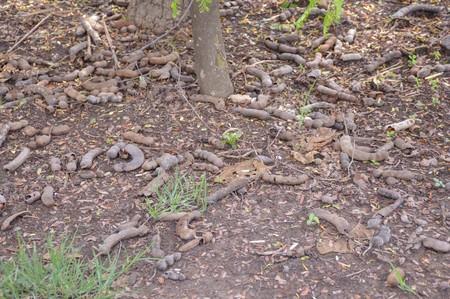 dry tamarind fruit on the ground Stok Fotoğraf - 47514186