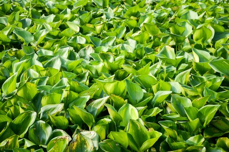 water hyacinth: Water Hyacinth tree in river , Eichhornia crassipes