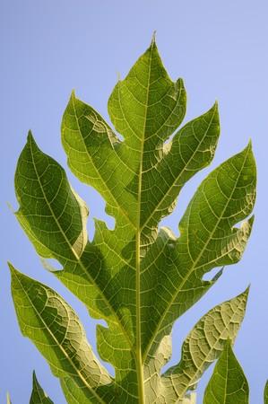 green papaya: green papaya leaves