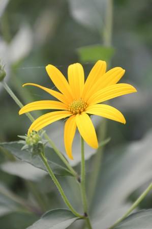 helianthus: yellow sunchoke flower in garden , Helianthus tuberosus Stock Photo