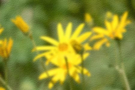 helianthus: grunge blur yellow sunchoke flower in garden , Helianthus tuberosus