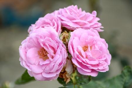 庭でピンクのダマスク ローズの花