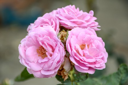 flower close up: pink damask rose flower in garden Stock Photo