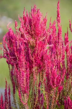 celosia: pink celosia flower in nature garden