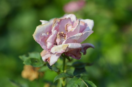 shrunken: withered rose flower in nature garden