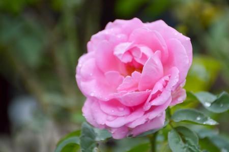 pink damask rose flower in garden 写真素材