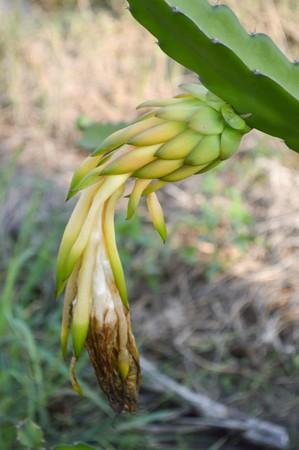 cactus flower: Blossom white flower of dragon fruit - hylocereus cactaceae