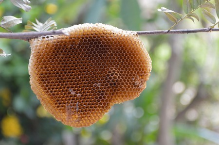 honeycomb on branch tree