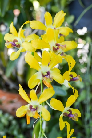 yellow orchid: yellow orchid flower in garden