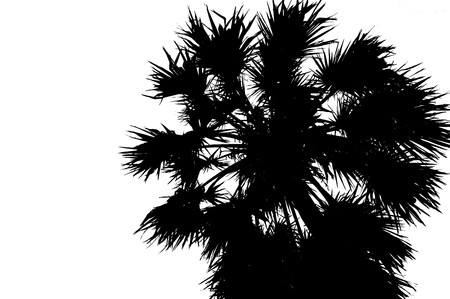 tree isolated: Black silhouette of single coconut palm tree isolated on white background