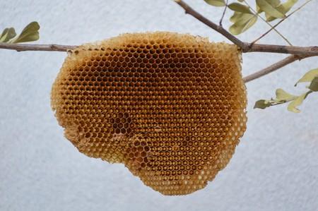 Nid d'abeilles sur branche d'arbre Banque d'images - 48062889