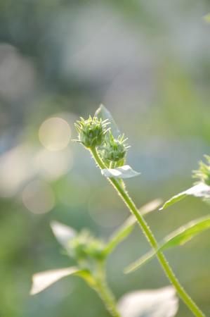 helianthus: close up green bud sunchoke flower in garden , Helianthus tuberosus