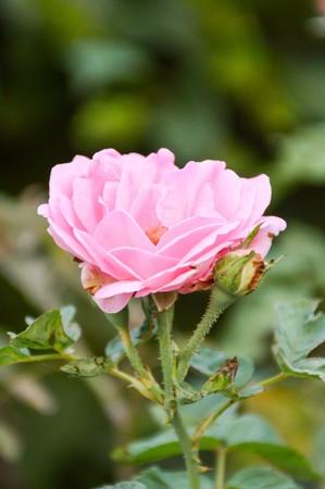 pink damask rose flower in garden Imagens