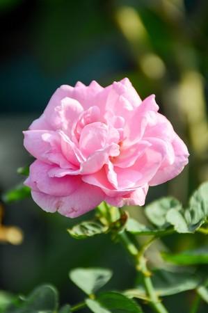 pink damask rose flower in garden 版權商用圖片