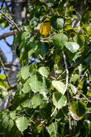 pipal: Ficus religiosa leaves in nature garden