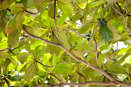green of Tropical almond tree Stok Fotoğraf - 48660001