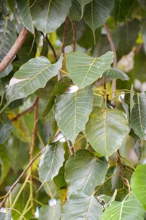 Ficus religiosa leaves in nature garden