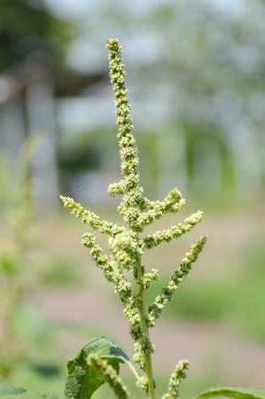 amaranthus: Amaranth tree in garden - Amaranthus lividus