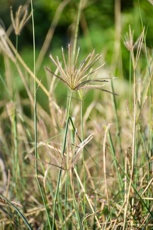 Swollen: Swollen finger grass , Chloris barbata Sw. Stock Photo