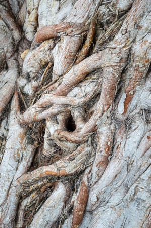 Ficus religiosa bark tree texture