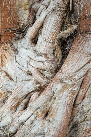 religiosa: Ficus religiosa bark tree texture