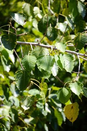 Ficus religiosa leaves in garden
