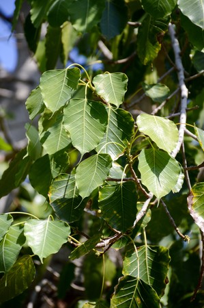 pipal: Ficus religiosa leaves in garden
