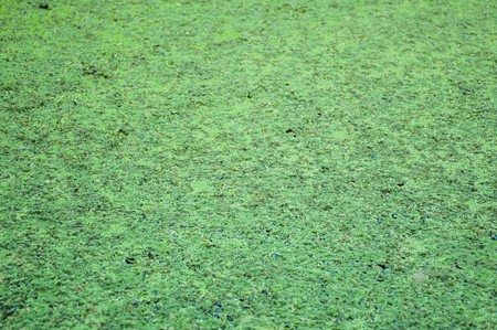 duckweed: green duckweed texture Stock Photo