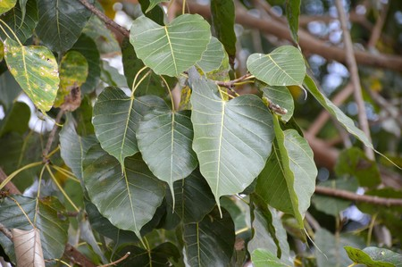 religiosa: green ficus religiosa leaves in temple garden Stock Photo