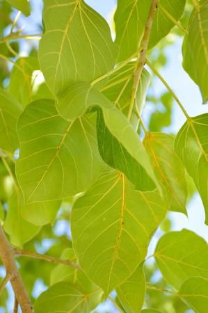 religiosa: Ficus religiosa leaves in garden