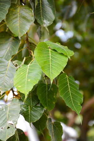 Ficus religiosa tree in garden Stok Fotoğraf