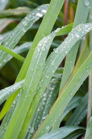 dew on lemongrass leaves
