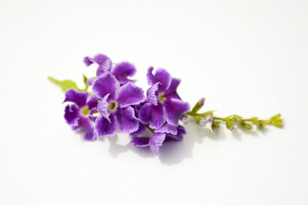 repens: purple Pigeon berry flower on white paper , duranta repens L.