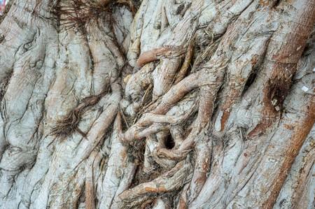 dry bark bodhi tree texture