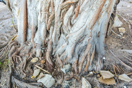 dry bark bodhi tree Stok Fotoğraf
