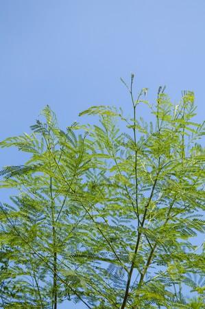 Super Grüner Akazienbaum Im Garten, Akazie Auriculiformis Cunn @UP_16