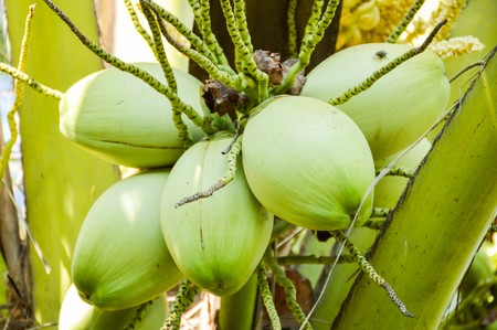 cocos nucifera: coconut tree in garden , Cocos nucifera