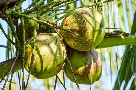 nucifera: coconut tree in garden , Cocos nucifera