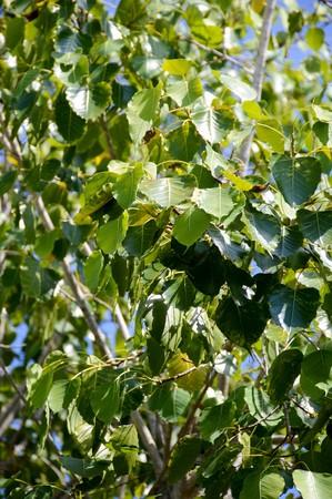 ficus: Ficus religiosa leaves in garden