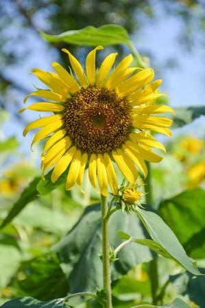 helianthus annuus: beautiful sunflower in nature garden Helianthus annuus