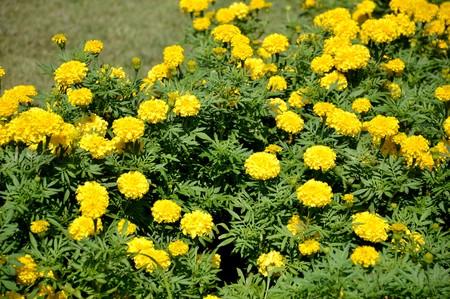 garden marigold: marigold flower in garden
