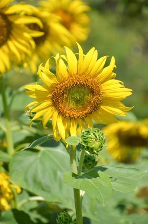 helianthus: beautiful sunflower in nature garden - Helianthus annuus Stock Photo