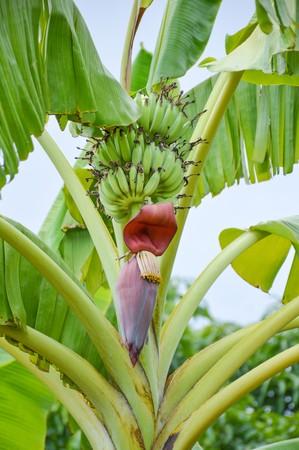 Banana flower  in garden