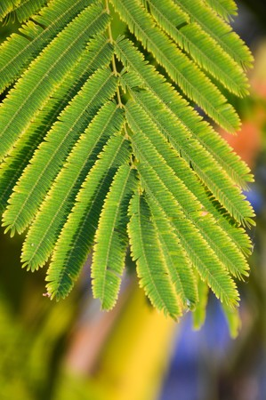 wattle: green climbing wattle leaves in vegetable garden Stock Photo