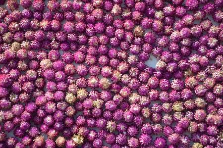 flores moradas: fresco globo flor de amaranto textura de fondo