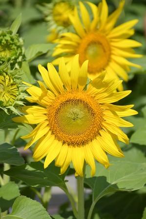 helianthus annuus: beautiful sunflower in nature garden - Helianthus annuus Stock Photo