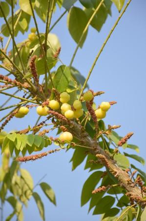 star gooseberry tree in garden