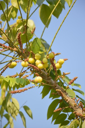 star gooseberry tree in garden