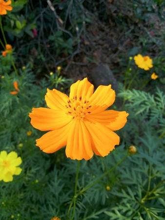 cosmos flower: yellow cosmos flower in nature garden Cosmos sulphureus